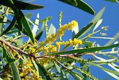 Fleur d'acacia spirobis - faux gaiac
