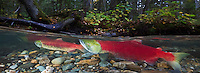 RY0638-Dp. Sockeye Salmon (Oncorhynchus nerka) have, after hundreds of miles of arduous travel upriver from the ocean, finally reached the spawning grounds in the middle of lush forest. Adams River, British Columbia, Canada. Cropped to panorama from native horizontal format.<br /> Photo Copyright &copy; Brandon Cole. All rights reserved worldwide.  www.brandoncole.com