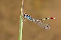 337850011 a wild adult male painted damsel hesperagrion heterodoxum perches on a water plant leaf on the membis river near royal john mine road grant county new mexico united states..GPS:N 32.73066.         W -107.86653
