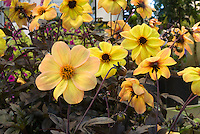 Dahlia Mystic Haze ('Dark Side of the Sun') single flowers in peachy yellow with dark black purple foliage