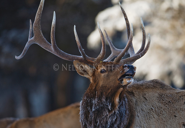 Bull elk bugling in late fall in Montana