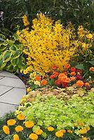 Forsythia x intermedia Show Off aka Mindor, Hosta, Heuchera, Tagetes, Zantedeschia, Primula, Ranuculus in showy garden