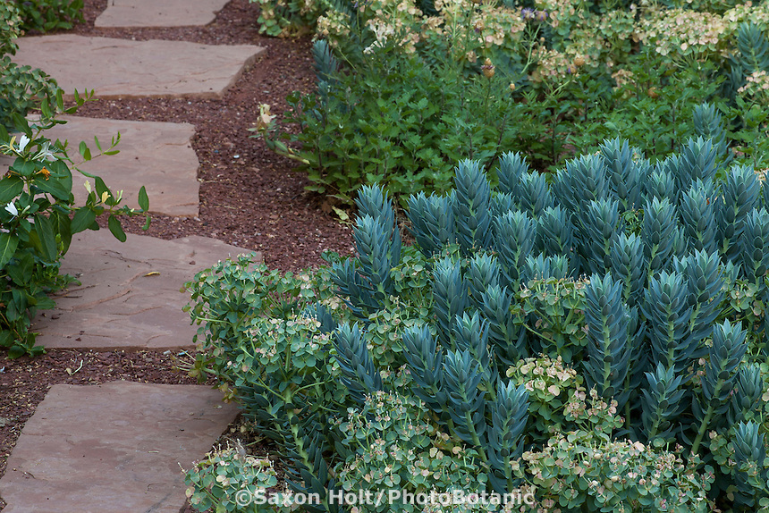 Euphorbia rigida (Rigid Spurge), silver gray foliage perennial New Mexico backyard garden by stepping stome path, design by Judith Phillips