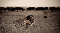 Lion and lioness hunting together in long grass as they watch a herd of wildebeest in the evening light in the Masai Mara, Kenya, Africa (photo by Wildlife Photographer Matt Considine)