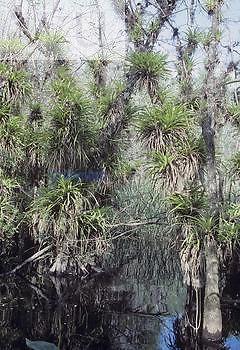 West Indian Tufted Airplant ,Guzmania monostachia,, an endangered species, Florida, USA.