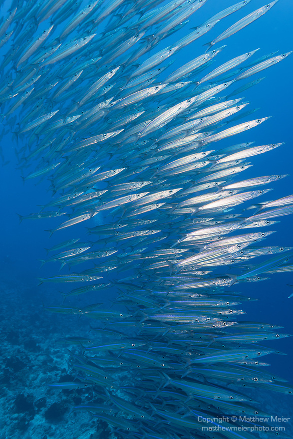 Kauehi Atoll, Tuamotu Archipelago, French Polynesia; a school of Heller's barracuda, swimming in the blue at the edge of a coral reef wall