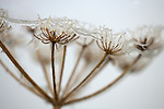 Frosted seedhead detail, carrot family, Apiaceae, Northumberland, UK