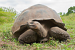 A portrait of a Galapagos giant tortoise at the Charles Darwin Station in the Galapagos Islands, Ecuador.