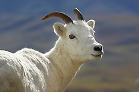 Dall sheep ewe portrait, Denali National Park, Alaska.