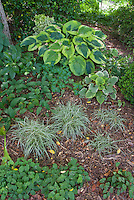 Shade garden plants perennial ornamental grass Carex oshimensis Evergold with Brunnera, Aquilegia, Convallaria lily of the valley foliage, hellebores, buxus boxwood, variegated hosta, epimedium, for mix of ground covering under trees