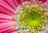 Gerber Daisy - Gerbera jamesonii