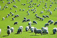 A field of sheep graze on green grass in New Zealand.