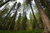 Mixed forest of Norway Spruce (Picea abies) and European Larch (Larix decidua), Alps, Italy