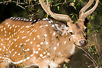 Spotted Deer or Chital, stag, Axis axis, Bandhavgarh National Park, male, face portrait.India....