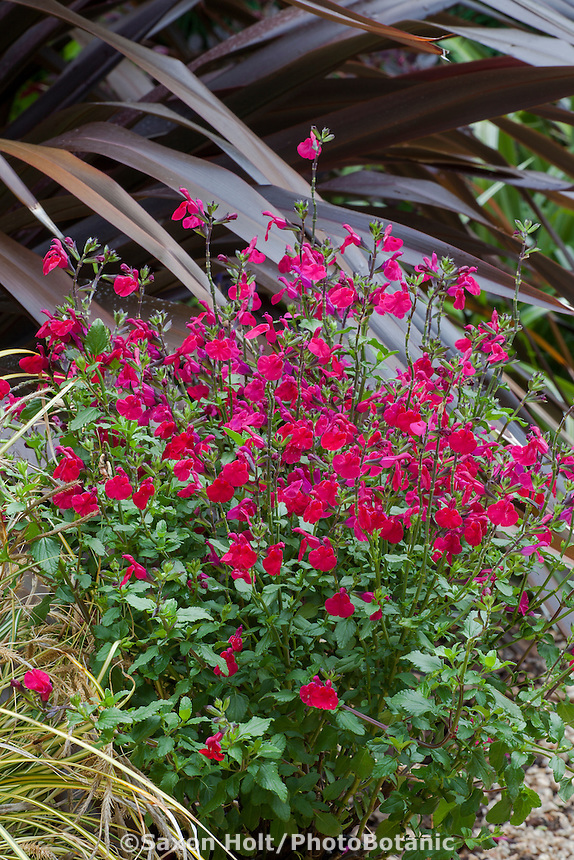 Salvia microphylla 'Killer Cranberry',  Mountain Sage flowering perennial;  Sunset Plants