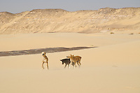 Puppies playing in the desert around Qasr al Labakha, near Al Kharga
