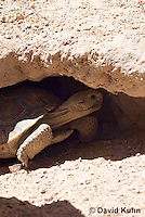 0609-1001  Desert Tortoise Emerging from Burrow to Forage for Food (Mojave Desert), Gopherus agassizii  © David Kuhn/Dwight Kuhn Photography