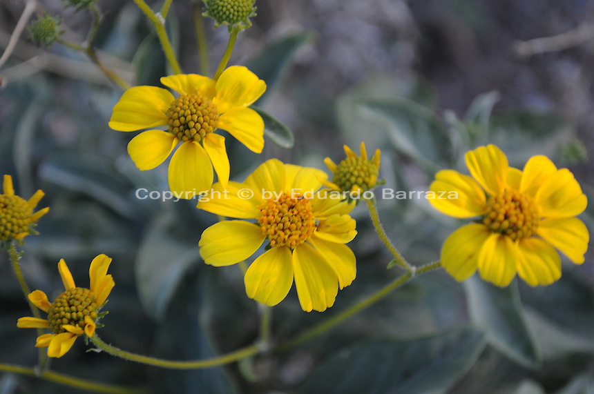 Apache Junction, Arizona. The Lost Dutchman State Park is located in the area of the Superstition Mountains in the Sonoran Desert, 40 miles east of Phoenix, Arizona. The park takes its name from a fabled lost gold mine. This photograph shows brittlebush bright yellow flowers at the Treasure Loop Trail. Photo by Eduardo Barraza © 2011