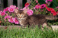 Fluffy gray tabby kitten playing at fence edge with petunias