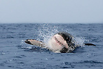 Great white shark, Carcharodon carcharias, breaching, Seal Island, False Bay, Cape Town, South Africa