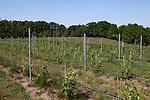 Vineyards on Old Mission Peninsula, Lake Michigan, Traverse City area, Michigan, USA