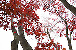 Japanese Maple Trees in autumn in NJ, USA