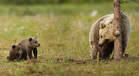 Brown Bear (Ursos arctos), female scratching with young cubs watching, Finland, July 2012