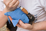Ashleigh Johnson - a volunteer wildlife carer for the Tolga Bat Hospital feeding a fruitbat baby  swaddled up in a cloth ready to sleep. (Pteropus conspicsllatus)