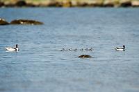 Norway, Håtangen. Common shelduck with ducklings.