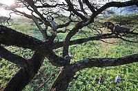 A harvest in an acacia tree above a cornfield. The proximity of the Mago National Park creates a problem. The Banas install their hives in the park but their expeditions into the brush are accompanied by hunting… We understand the rapid disappearance of the wildlife starting in the 1980s with the arrival of automatic guns in the region. Poachers hunting the ivory have decimated the herds of elephants and potential predators of the goat herds are systematically hunted and killed///Récolte sur un acacia au dessus d'un champ de maïs. La proximité avec le Parc National du Mago pose un problème de voisinage. Les Banas ont l'habitude d'installer leurs ruches dans le parc mais ces expéditions en brousse s'accompagnent de chasses…On comprend la disparition rapide de la faune sauvage à partir des années 80 avec l'arrivée des armes automatiques dans la région. Les troupeaux d'éléphants ont été décimés par des braconniers pour leur ivoire et les prédateurs possibles des troupeaux systématiquement poursuivis et chassés.
