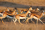 Springbok, Antidorcas marsupialis, herd running in riverbed, Kgalagadi Transfrontier Park, Northern Cape, South Africa