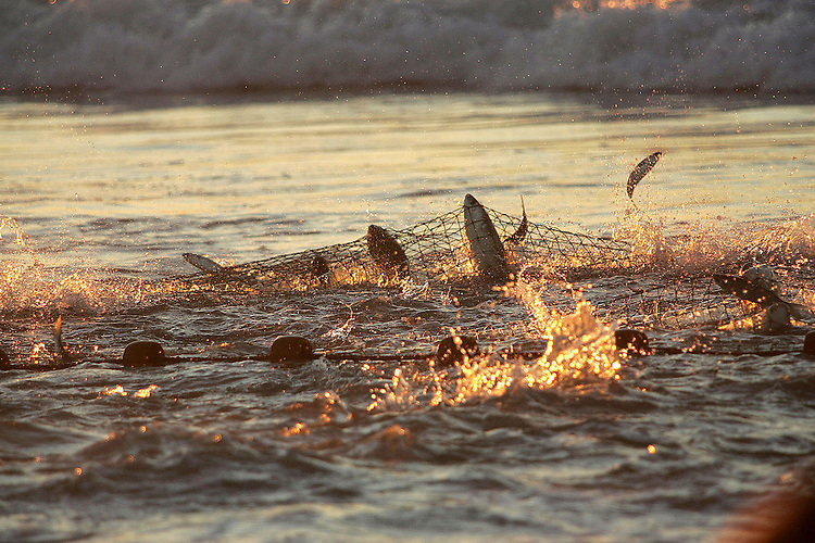 Chuck Beckley   Caught by the net, mullets jump in the early orange rays of the sunrise.
