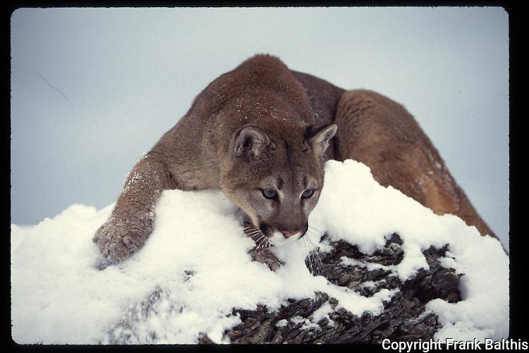 mountain lion in snow preparing to pounce
