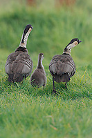 Two nene (or Hawaiian geese, or Branta sandvicensis) walking with their gosling, Hawai'i.
