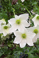 Clematis Early Sensation (Fo/f) white flowering perennial climbing vine with green stamens