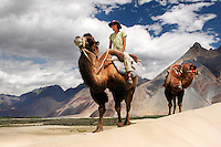 Camels in Nubra Valley, Ladakh Himalaya Inde. Photo : Vibert / Actionreporter.com