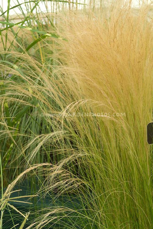 Stipa tenuissima 39 pony tails 39 ornamental grass aka nasella for Ornamental feather grass