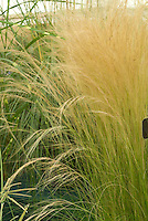 Stipa tenuissima 'Pony Tails' ornamental grass aka Nasella, Mexican Feather Grass