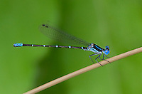 338400001 a wild male blue-ringed dancer damselfly argia sedula perches on a twig at independence park on the guadalupe river in gonzales in gonzales county texas
