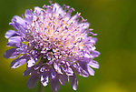 Field Scabious, Knautia arvensis, Parkgate, Kent, showing purple flower head.United Kingdom....
