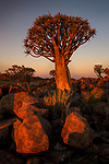 Quiver Tree (Aloe dichotoma)or kokerboom, Karas region, Namibia