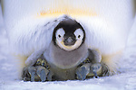 Emperor penguin chick, Weddell Sea, Antarctica