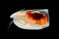 Ostracod (Paramollicia rhynchena). The Ostracoda are one of the most successful Crustacean groups with approximately 8000 living species.