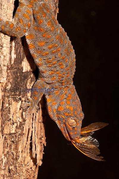 Tokay Gecko (Gekko gecko), Asia.