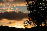 Sunset with Totara trees, Westland National Park, West Coast, World Heritage Area, South Westland, New Zealand
