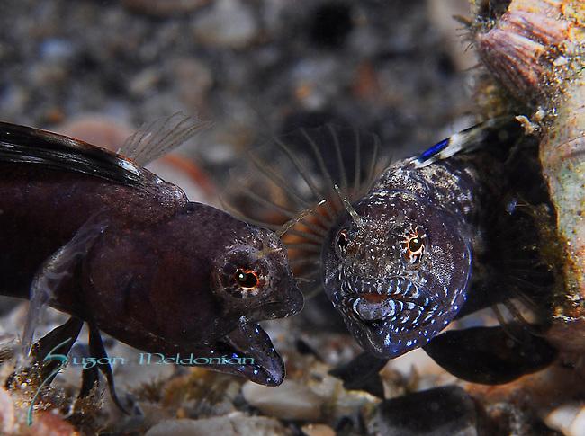 Sailfin Blennies, mating ritual, final defeat,pair get Friendly