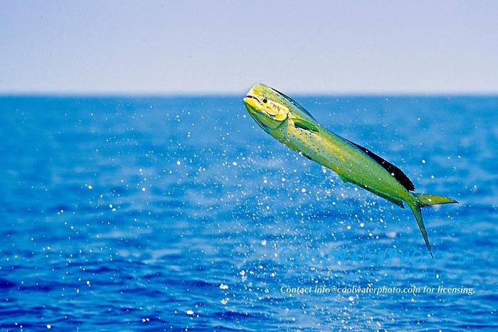 mahi mahi, dolphin fish, or dorado, Coryphaena hippurus, large bull, jumping, Kona Coast, Big Island, Hawaii, USA, Pacific Ocean