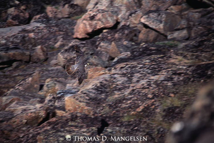 Peregrine Falcon flying above rock outcroppings.