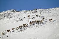 Barren ground caribou in Atigun canyon of the Brooks mountain range, arctic, Alaska