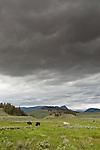 Bison graze quietly under heavy rainclouds.